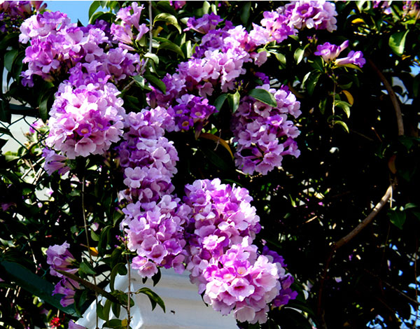 Dây ánh hồng hoa đẹp dễ trồng leo nhanh