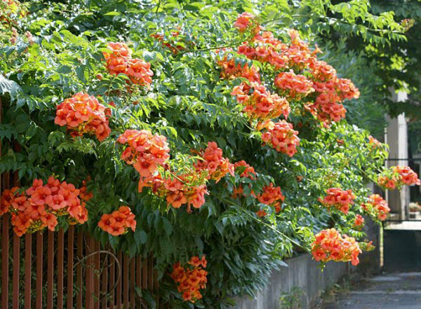 Hoa đăng tiêu hoa leo đẹp chống nắng tuyệt đẹp
