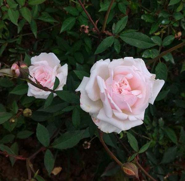 Hoa hồng đào cổ – Hoa hồng bản địa của người Việt