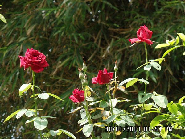 Cây hoa hồng nhung – Hồng truyền thống của người Việt