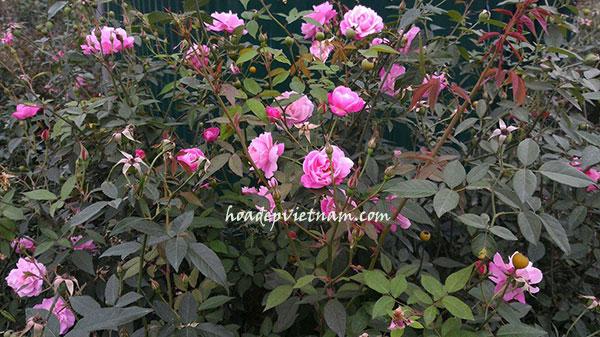 Hoa hồng quế – Hồng bụi truyền thống đẹp