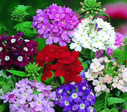 Hoa vân anh – Hoa bụi đẹp biểu tượng của tình yều, hạnh phúc