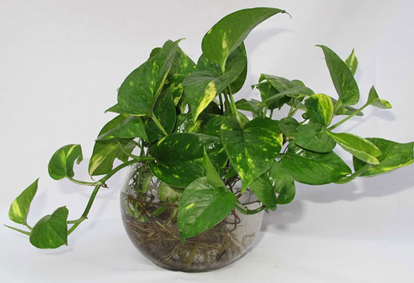 Cây trầu bà trồng trong nhà – Cây nội thất lọc không khí