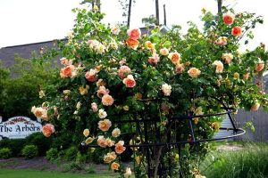 Emilien-Guillot-rose-2a