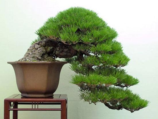 bonsai-dang-huyen-1a
