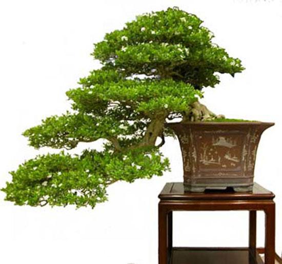 bonsai-dang-huyen-2a