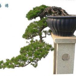bonsai-dang-huyen-4a