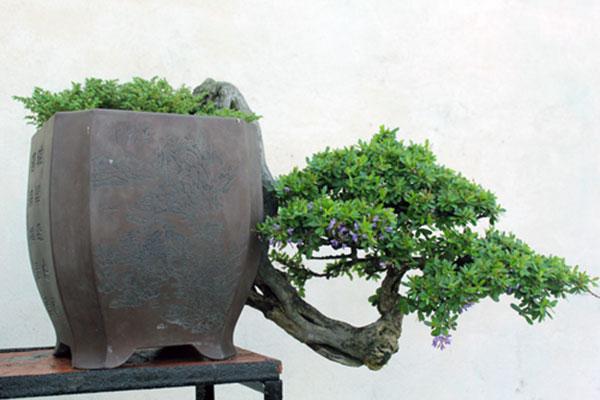 bonsai-dang-huyen-6a