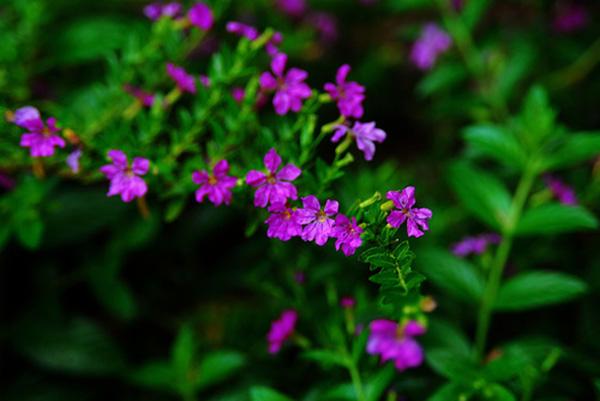 Hoa cẩm tú mai – Hoa bụi trồng đường viền tuyệt đẹp