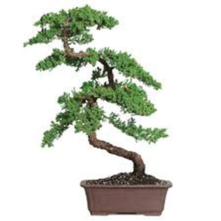 cay-bonsai-dang-sieu-1a