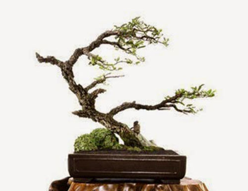 cay-bonsai-dang-sieu-2a