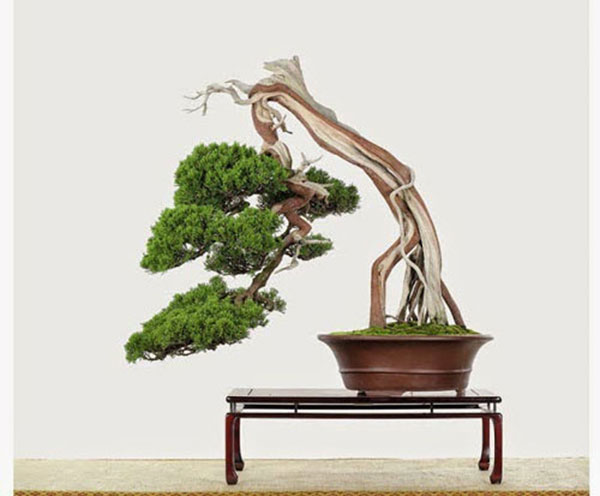 cay-bonsai-dang-sieu-3a