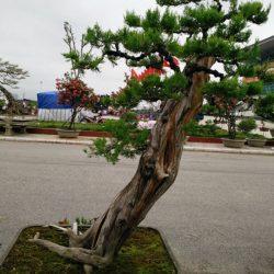 cay-bonsai-dang-sieu-4a