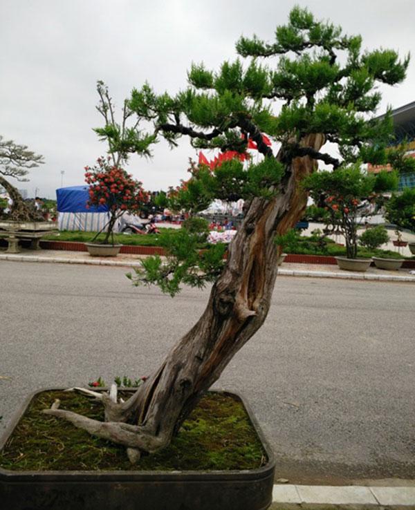 Cây bonsai dáng siêu – Một trong những dáng thế cây cổ điển