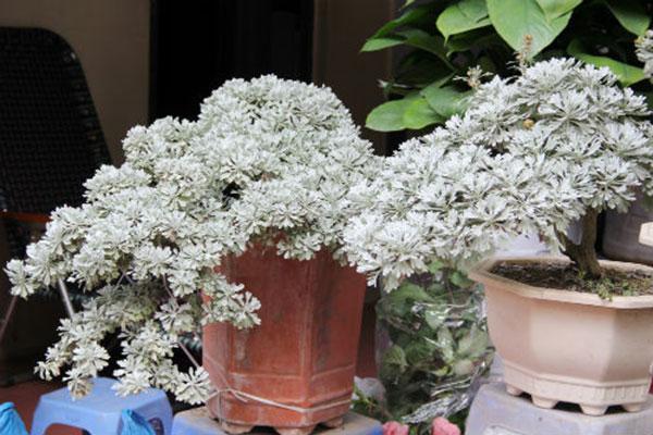 Hoa cúc mốc – Hoa đẹp lạ độc đáo khác xa so với cái tên của nó
