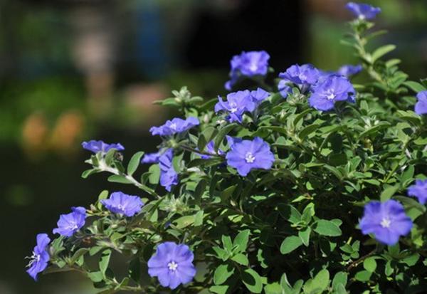 Hoa thanh tú hoa trồng chậu , trồng ban công tuyệt đẹp