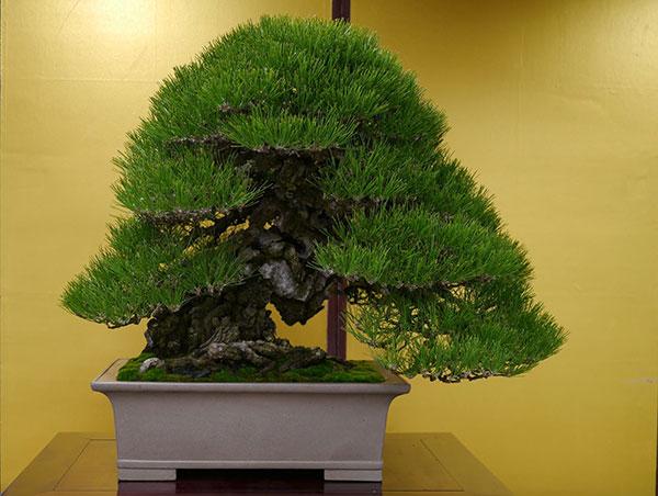 Cây thông đen – Vua của bonsai Nhật Bản
