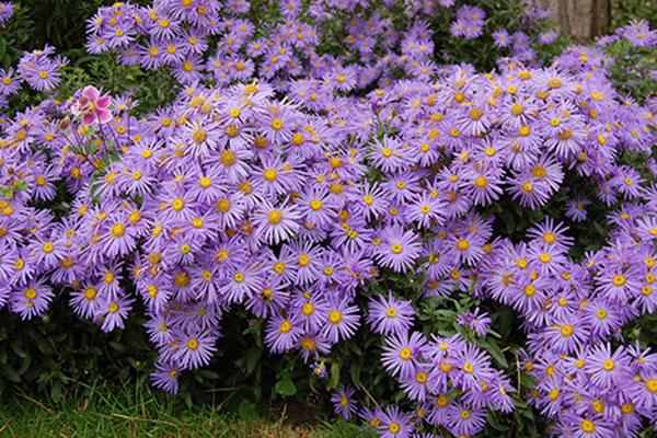 Hoa thạch thảo – Hoa đẹp của nữ tính, thanh tú và chín chắn