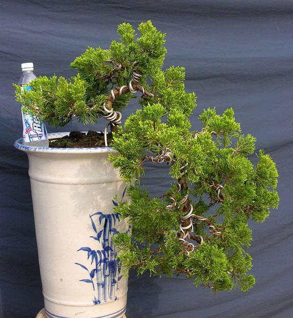 Cây tùng cối – Cây bonsai đẹp, cách trồng và chăm sóc, tạo dáng tùng cối