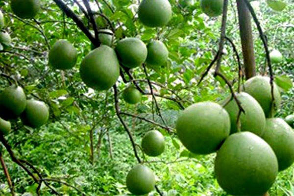 Cây bưởi cây ăn quả được trồng nhiều ở Việt Nam