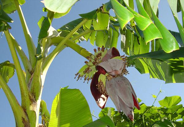 Cây chuối – Cây ăn quả được trồng nhiều ở Việt Nam