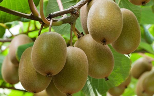 Cây kiwi cây leo ăn quả độc đáo – Cách trồng và chăm sóc