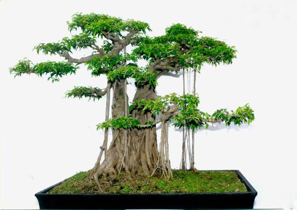 Cây sanh – cây bonsai thế, cây dáng thế được ưa chuộng