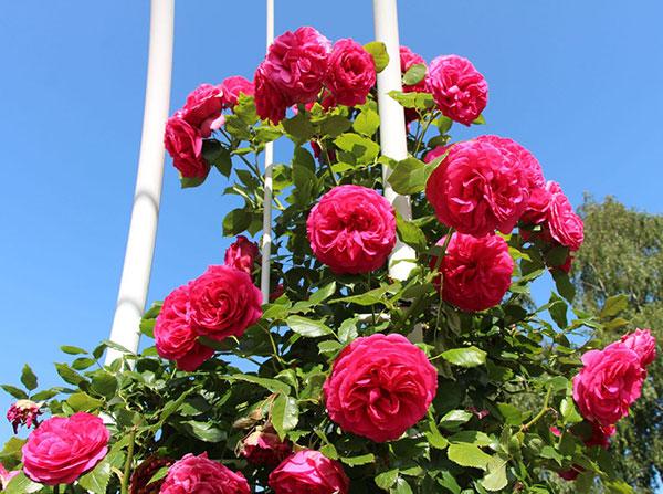 Maritim-rose-3a
