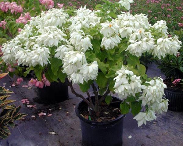 Cây én bạc -Cây đẹp độc đáo trồng công trình cảnh quan