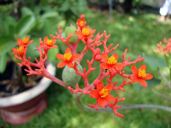Hoa sen lục bình – Hoa đẹp dễ trồng