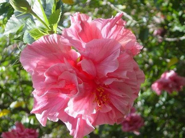 Hoa dâm bụt – Hoa trồng hàng rào, cửa nhà rất đẹp