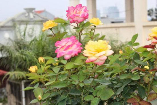 Hoa hồng đổi màu – Hoa hồng lạ, độc đáo vạn người mê