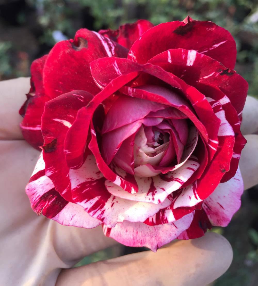 Hoa hồng julio – Hoa hồng ngoại sọc đỏ đẹp tuyệt vời