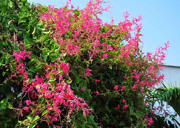 Hoa tigon – Hoa đẹp độc đáo thu hút nhiều ánh nhìn