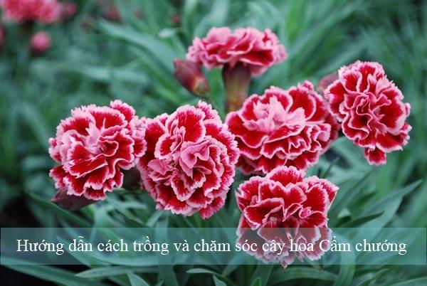 huong-dan-cach-trong-va-cham-soc-cay-hoa-cam-chuong-1-min