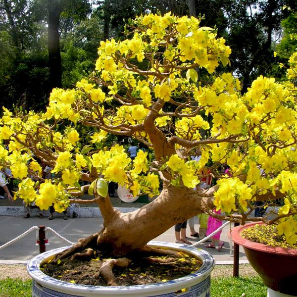 Hoa mai vàng yên tử – Hoa tết độc đáo của người Việt
