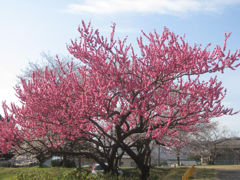 Cây hoa đào và cách chăm sóc cây hoa đào ngày tết