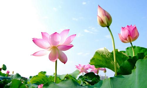 Hình ảnh hoa sen tuyệt đẹp