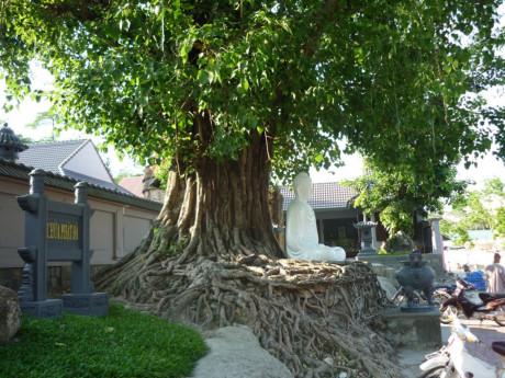 Cây bồ đề – cách trồng và chăm sóc cây bồ đề