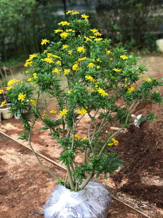 Cây cúc thân gỗ – cách trồng và chăm sóc cây cúc thân gỗ