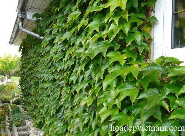 cay-hoa-leo-ivy-2a