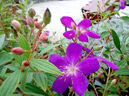 Cây hoa sim – cách trồng và chăm sóc cây hoa sim