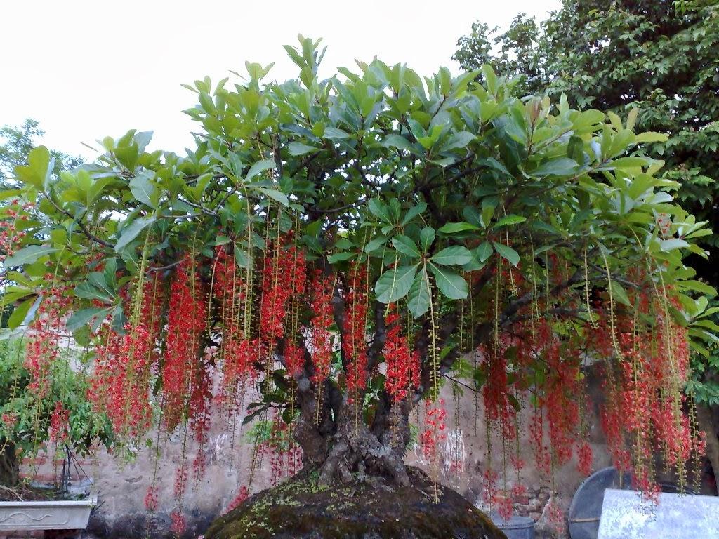 Cây lộc vừng – cách trồng và chăm sóc cây lộc vừng