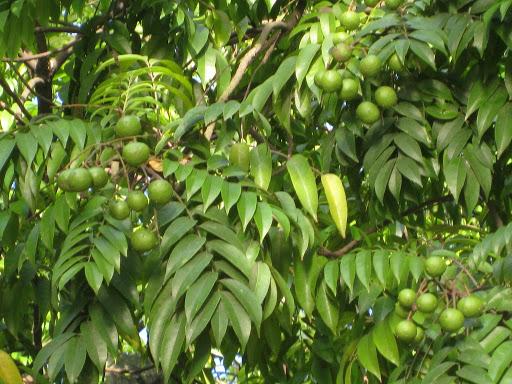 Cây sấu – Cách trồng và chăm sóc cây sấu sai quả nhất