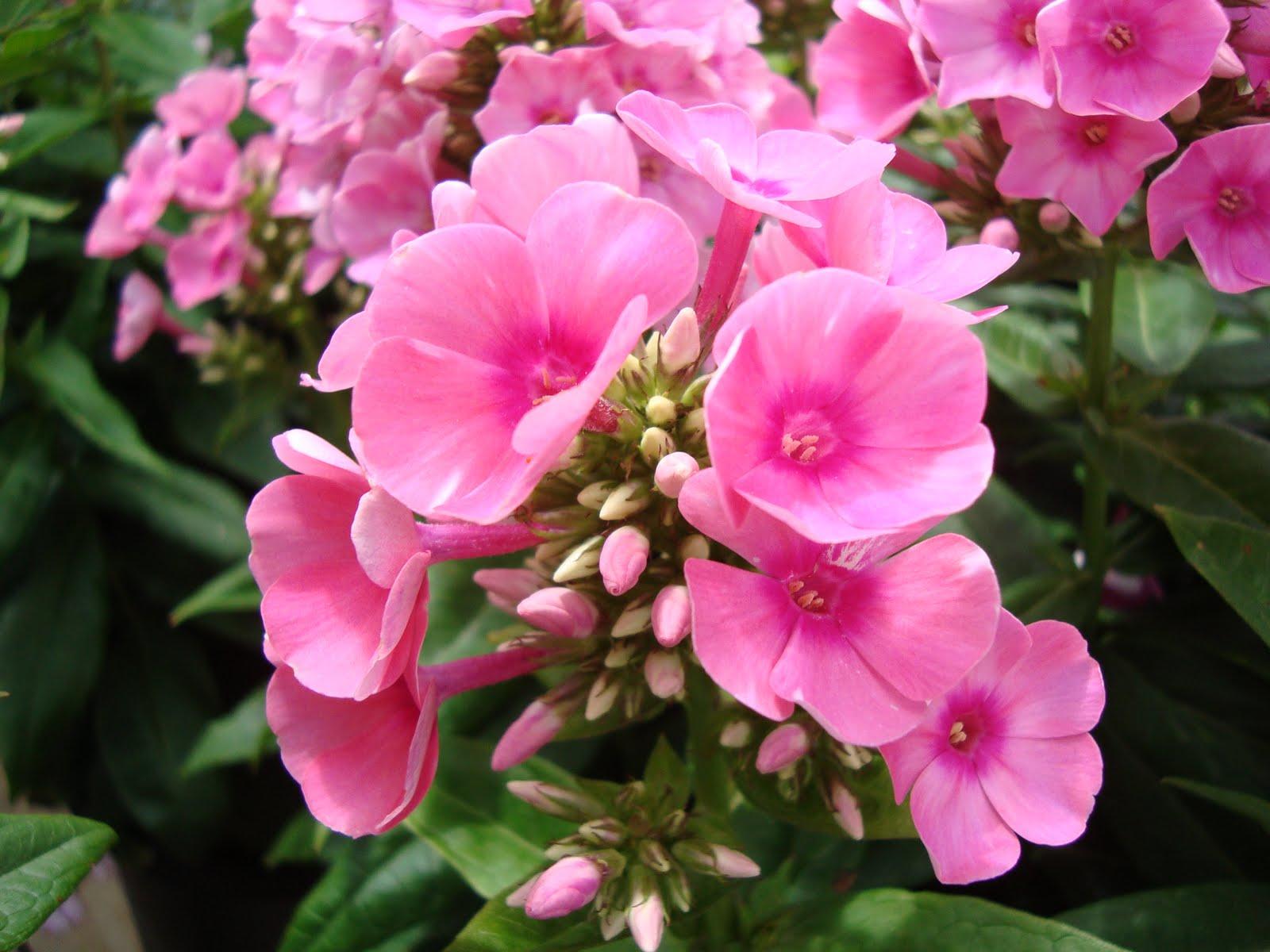 Cây hoa trúc đào – cách trồng và chăm sóc cây hoa trúc đào