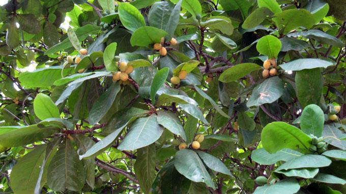 Cây bàng – cách trồng và chăm sóc cây bàng