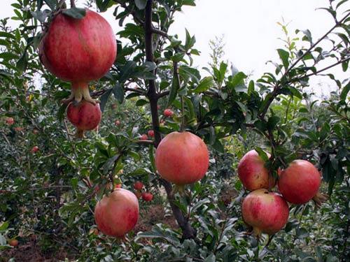 Cây lựu – cách trồng và chăm sóc cây lựu
