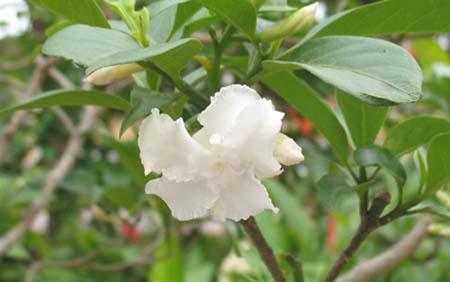 Hoa Ngọc Bút- Cách trồng và chăm sóc cây hoa ngọc bút