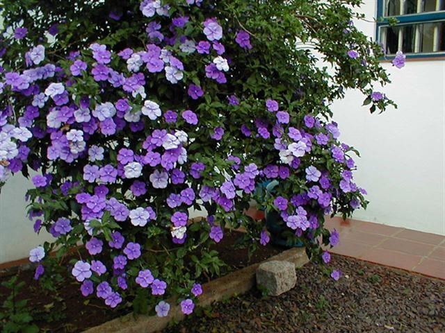 Hoa nhài nhật – cách trồng và chăm sóc cây hoa nhài nhật