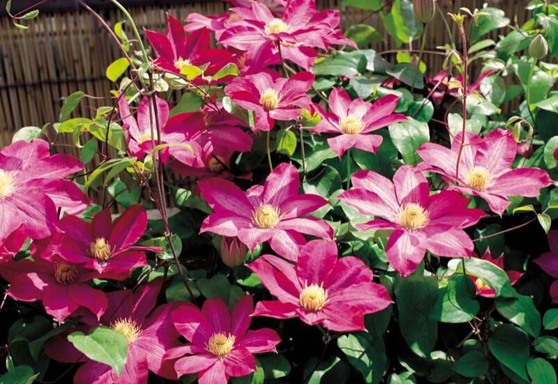 Hoa ông lão – cách trồng và chăm sóc hoa ông lão